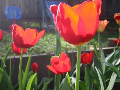 tulips in my backyard