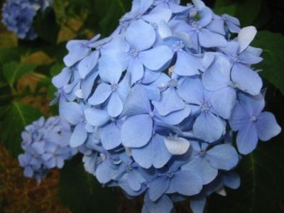 Backyard hydrangeas